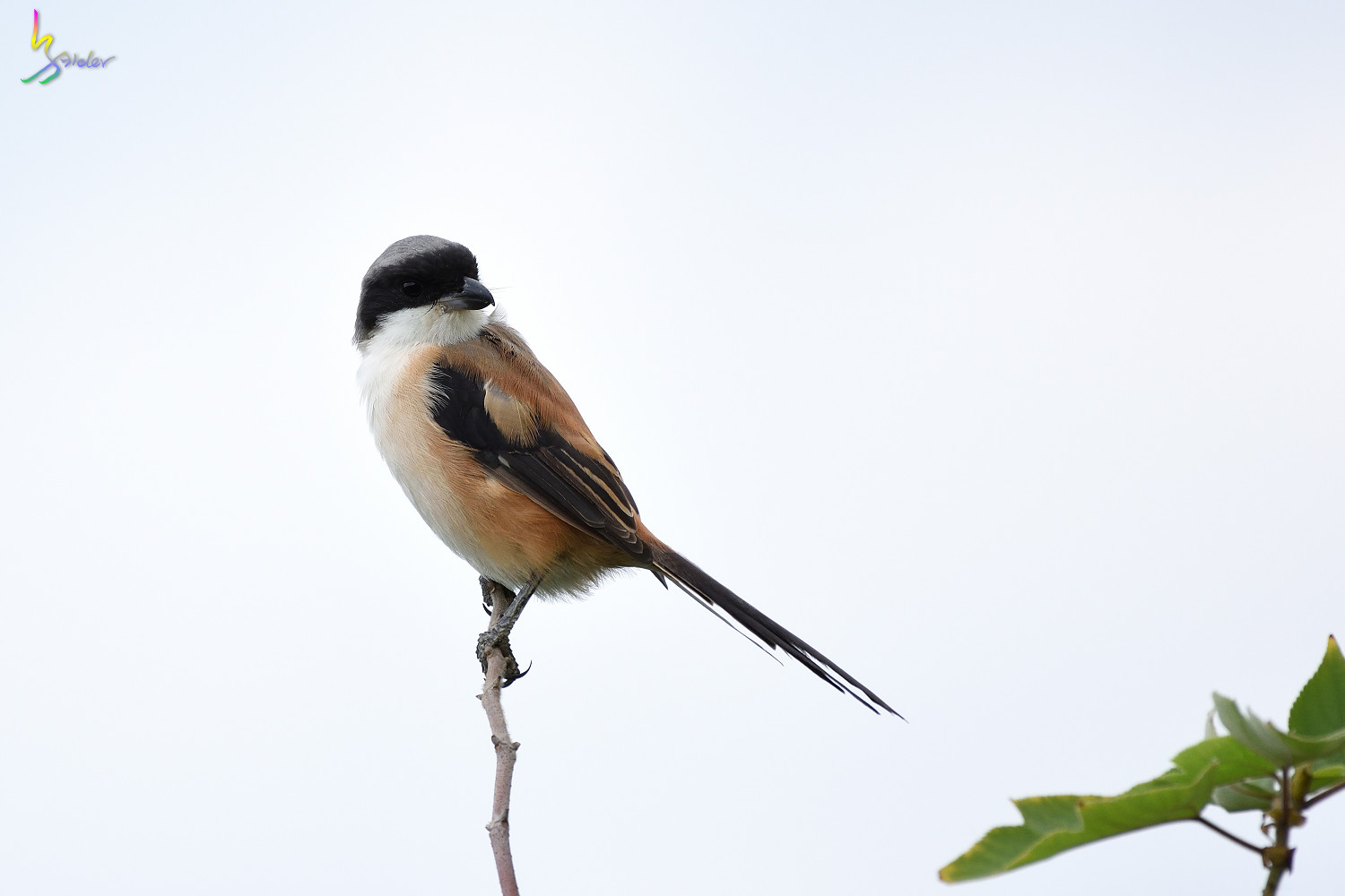 Long-tailed_Shrike_0695