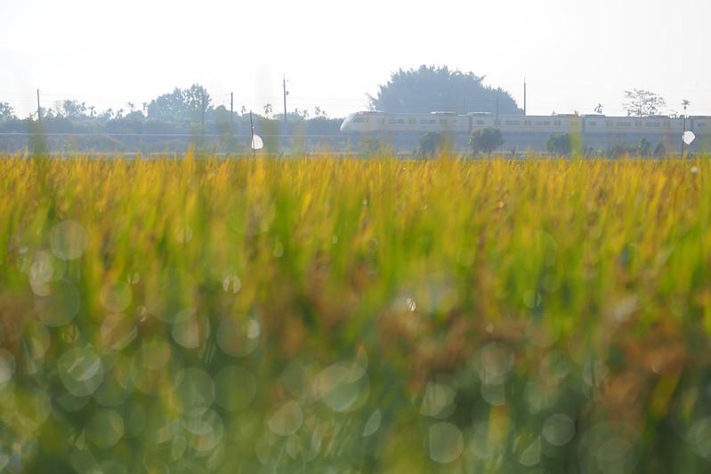 金黃色季節|M.ZD 45mm f/1.2 PRO