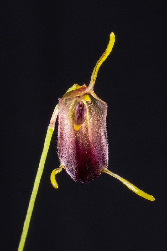 Miniatur-Orchideen Teil 4 - Seite 5 38211595522_ab8ae8c72a_c
