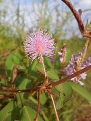 Mimosa pudica L. Fabaceae Mimosoideae-Sensitive Plant, ไมยราบ
