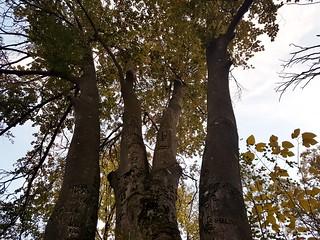 Ginkgo tree in Aleksa Santic, Serbia.