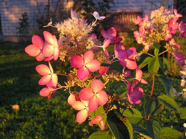 Hydrangea paniculata 'Angle's Blush'