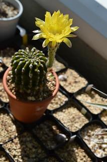 DSC_6250 Echinopsis eyriesii エキノプシス 黄花短毛丸