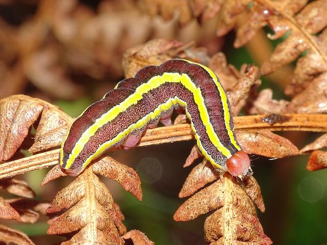 Broom Moth (Ceramica pisi) larva