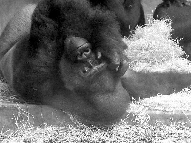 Buzandi, Zoo Hannover