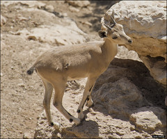 Nubian Ibex in Jerusalem-Biblical-Zoo-IZE-373