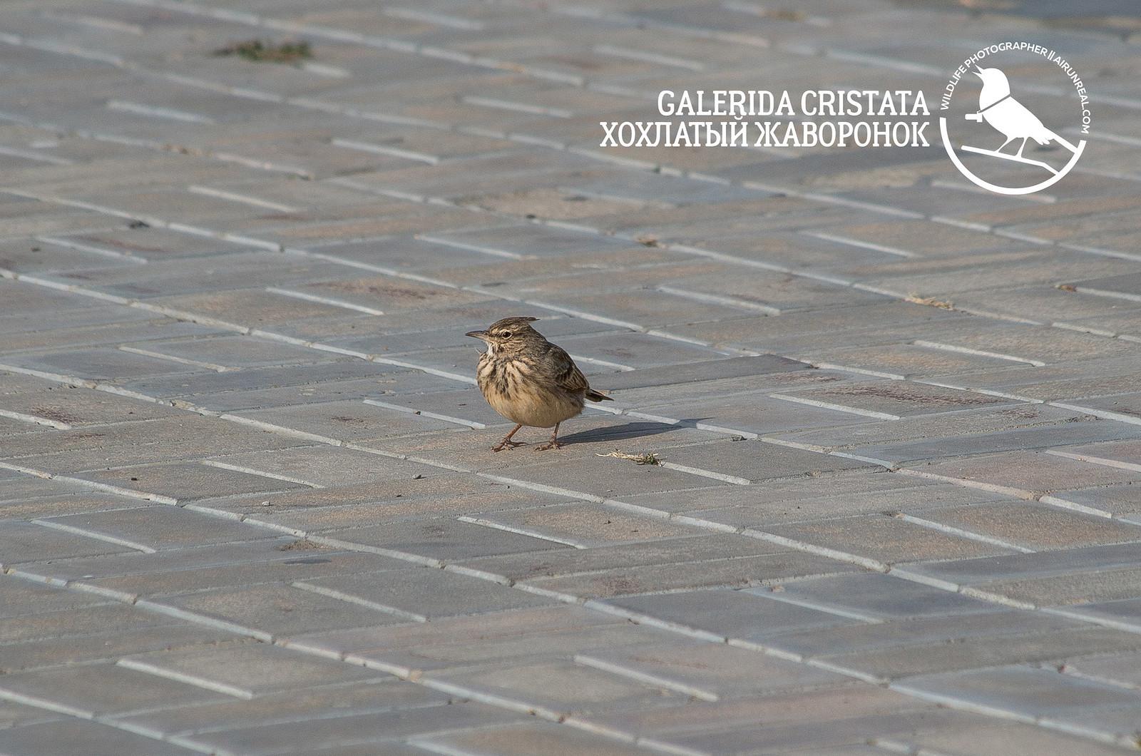Galerida cristata  // 20171005