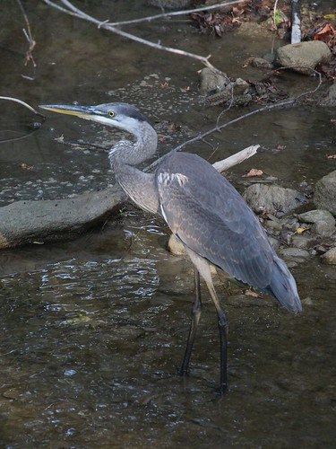 bird greatblueheron heron waterfowl oshawa ontario canada can ardeaherodias groupcharlie