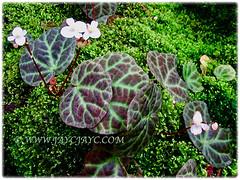 Beautiful flowering Begonia rajah (Resam Batu in Malay) at Rimba Ilmu Botanic Garden in Malaysia, 1 Aug 2009