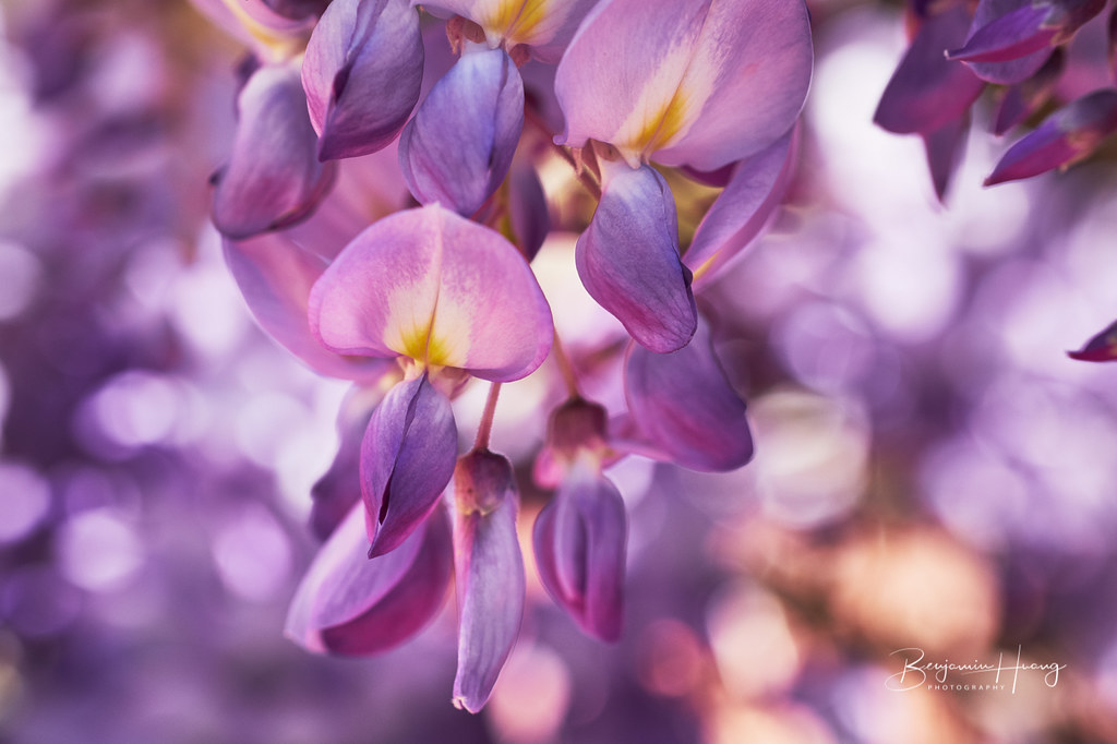 Spring wisteria blossoming.