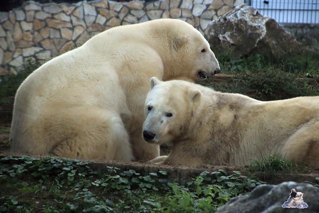 Eisbär Fiete im Sosto Zoo 01.10.2017 156