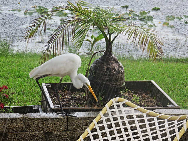 Great Egret hunting lizards in rain 02-20171016