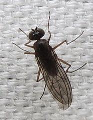 Long-legged fly: Hydrophorinae