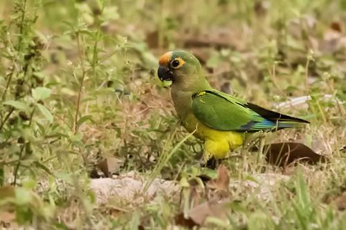 Pantanal: Peach-fronted Parakeet 1