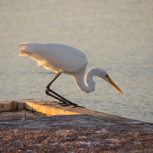 Great egret (aka great white heron)