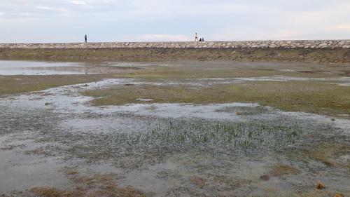 Noodle seagrass (Syringodium isoetifolium)?