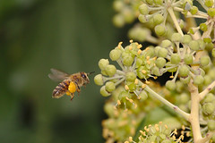 Bee approaching ivy flowers
