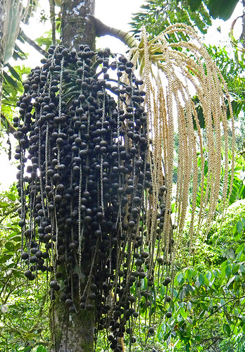 Palm tree with seeds in Hanging Bridges, trails through the jungle of Costa Rica