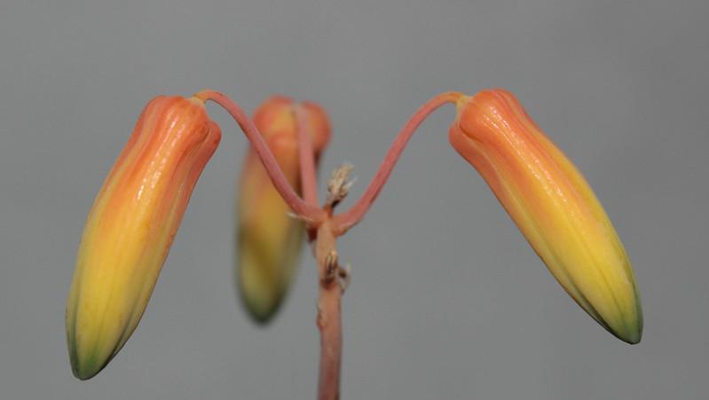 Aloe bakeri 37745749442_5e2c743c0d_c