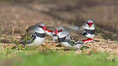 Diamond Firetails