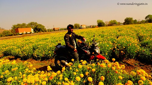 Getting clicked in Marigold flowers' fields