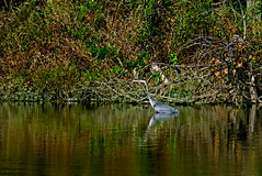 Blue Heron on Lake Sherry