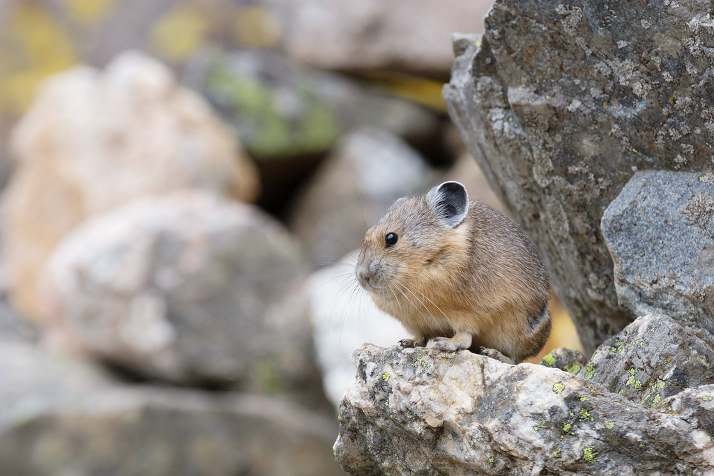 An American pika looks out for the talus field that it calls home