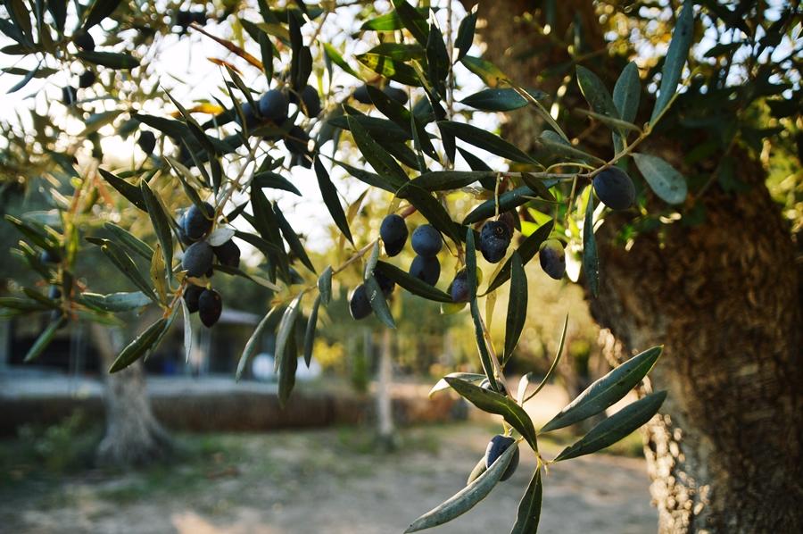 oliivi3