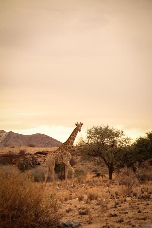 Giraffe-Safari-Namibia-Afrika