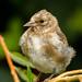 Fledgling Goldfinch