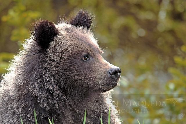 Oso Grizzly - Grizzly Bear - Banff NP - Canada
