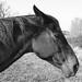 Black & White Horse