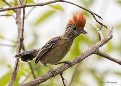 Black-crested Antshrike female