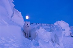 Brilliant Autumn moon illuminates the snowy landscape and arctic fox in Churchill, Canada by Norbert Rosing https://t.co/XUMHcJV4a3 #istan…