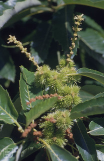 Flowers and young burs. Gelynis 430-year-old sweet chestnut, 4 August 1999