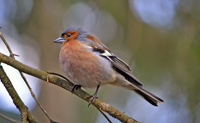 Common chaffinch (male).