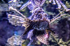 Ripley's Aquarium: Lionfish