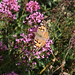 Painted Lady @Keyhaven September 2017