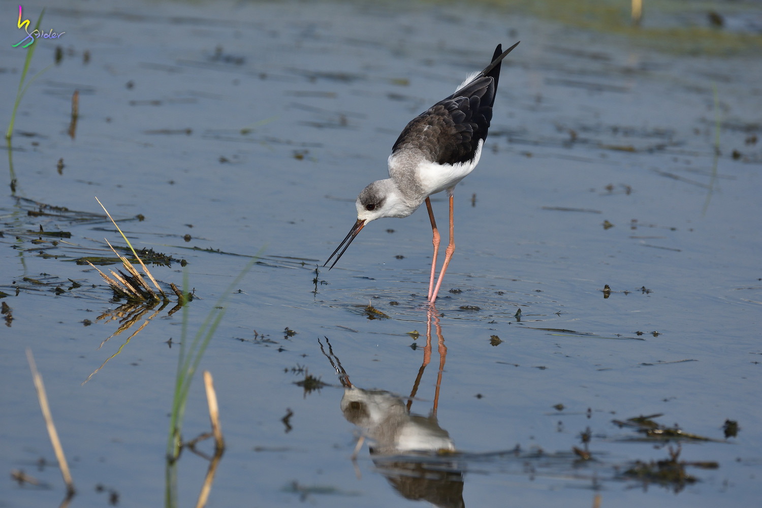 Black-winged_Stilt_9144