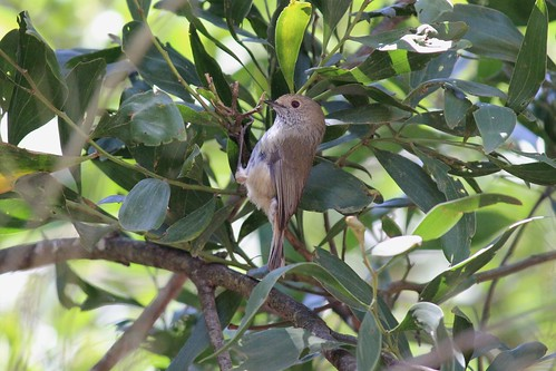 Brown thornbill, Wandong State Forest