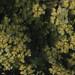 Chrysosplenium oppositifolium St Donats, Old Marcross road 09/04/1984