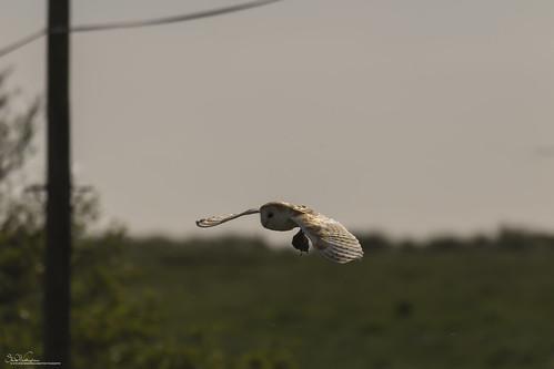 Barn Owl Breakfast