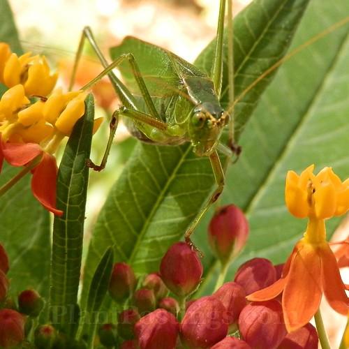katydid eyes