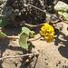 Small photo of Sand verbena - Abronia latifolia