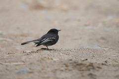 Black Phoebe (white-winged)