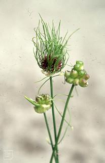 Allium vineale v. vineale. Large bulbils & flowers. A. v. v. compactum. A b. small bulbils. No flowers. Whitchurch Canal. 74