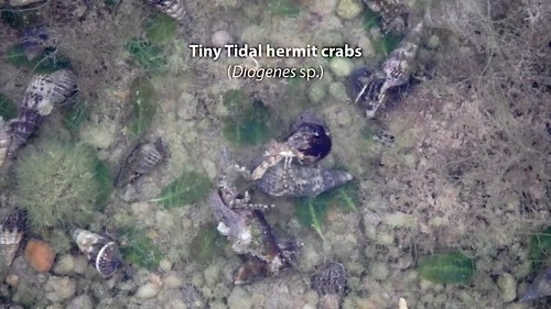 Tidal hermit crabs (Diogenes sp.) and Orange-striped hermit crab (Clibanarius infraspinatus)
