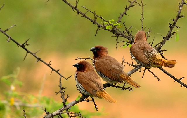 Scaly-breasted munia 2
