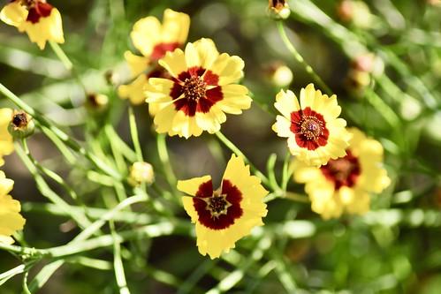 Coréopsis élégant / Golden tickseed