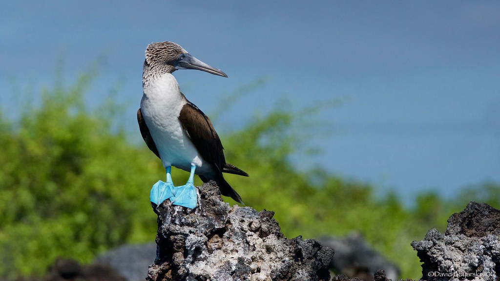 Blue-Footed Booby 4